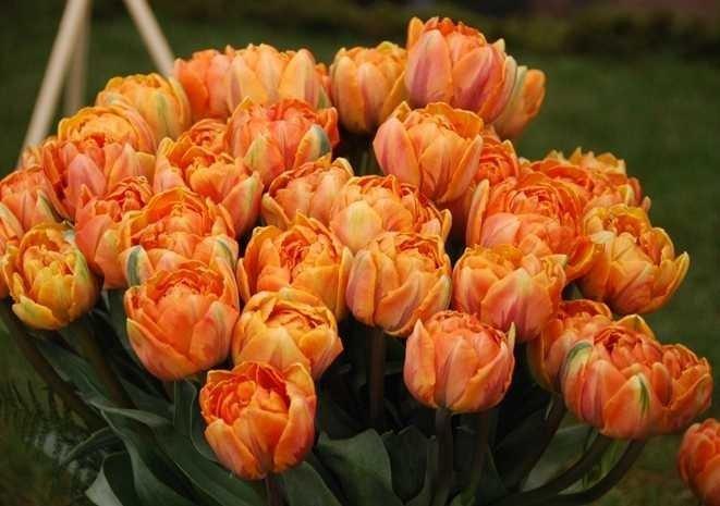 Tulipa-Orange-Princess-2