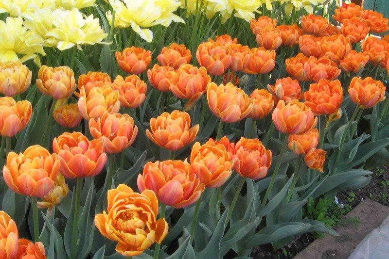 Tulipa-Orange-Princess-3