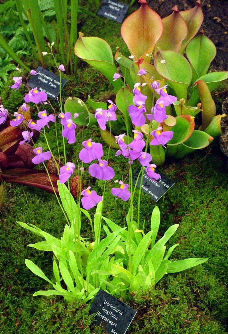 Utricularia-1