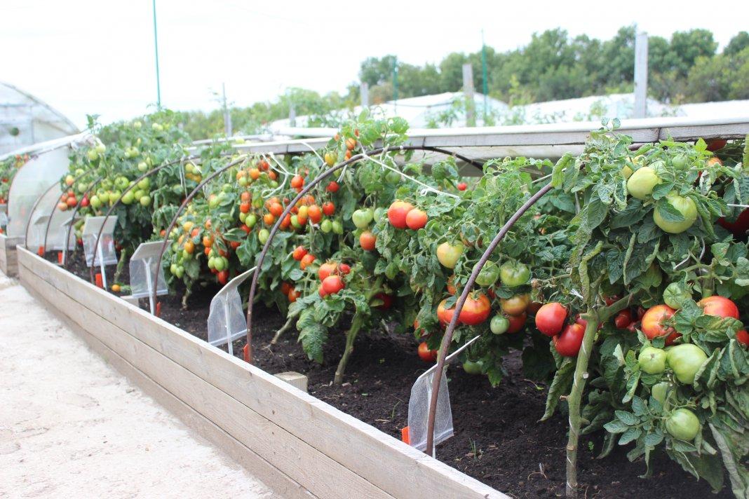 Выращивание томатов и помидоров 107