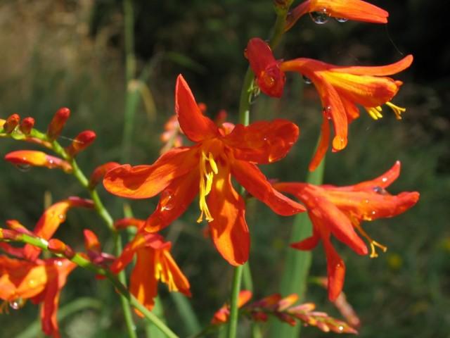 Утсония ирисолистная (Watsonia iridifolia)