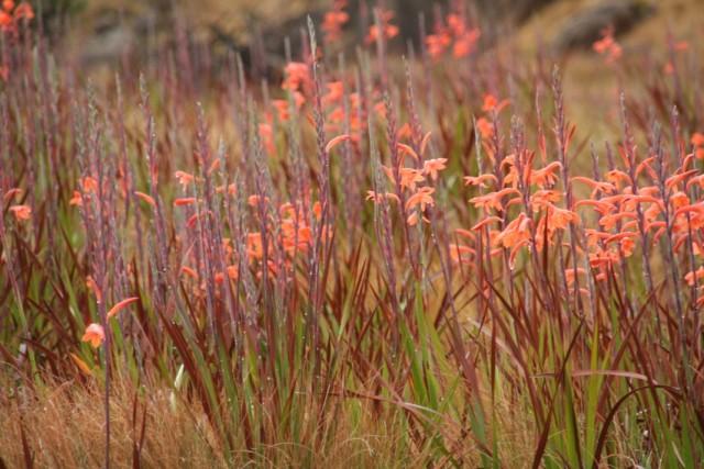 Утсония беатрицис, или Утсония Пилланса (Watsonia pillansii)