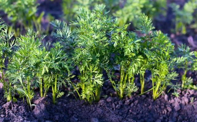 Здоровая ботва моркови