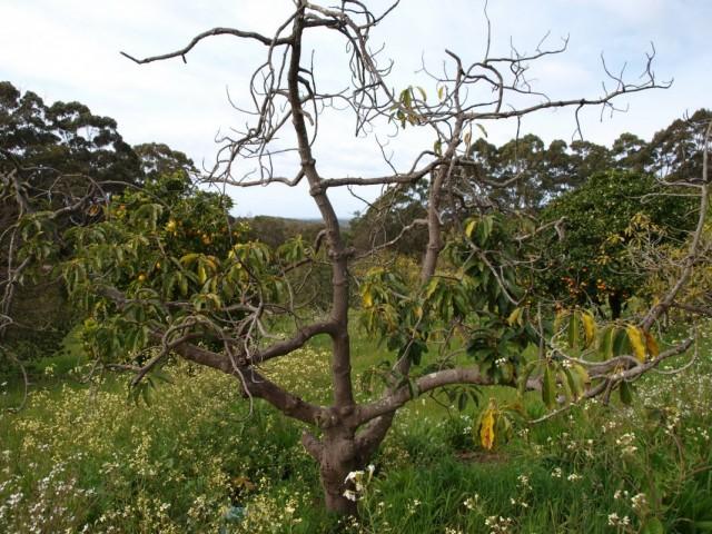 Сухие ветки в кроне фруктового дерева