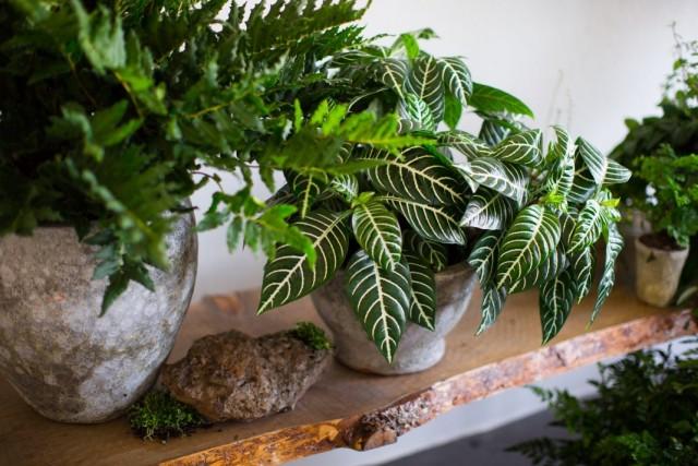 Растения со строгими узорами на листьях в интерьере