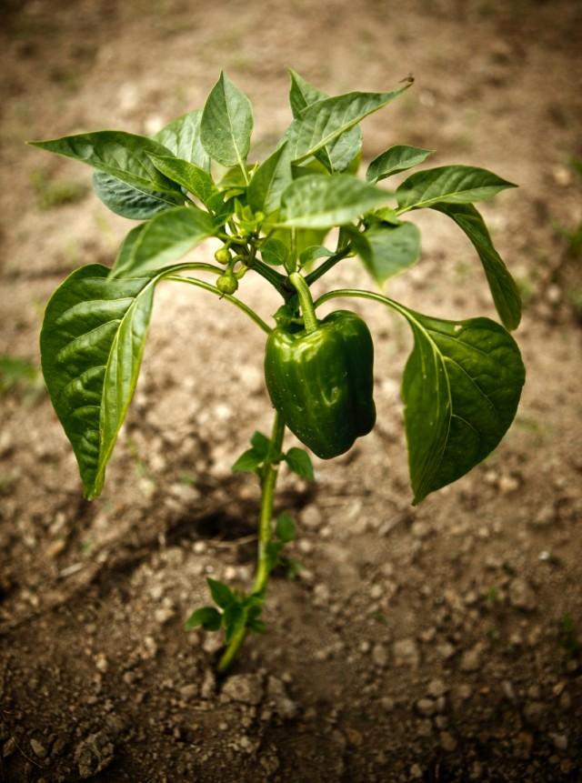 Плод перца из коронного бутона на развилке ветвей первого порядка