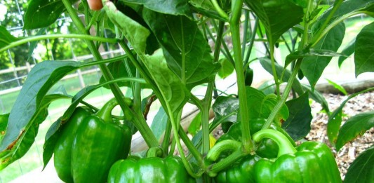 Сформированный куст перца овощного