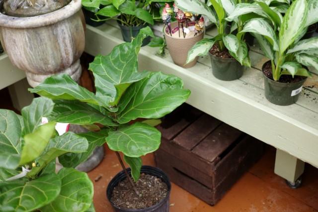 Выбор декоративно-лиственных растений в магазине