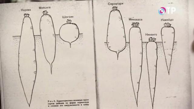 Иллюстрация разнообразия форм дайкона