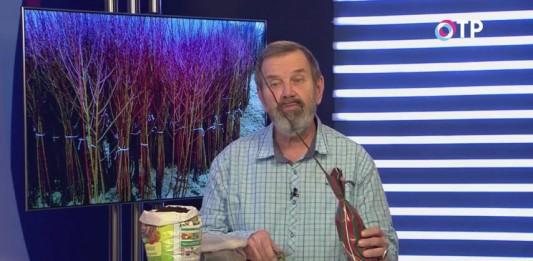 Как сохранить саженцы деревьев и кустарников до высадки в открытый грунт