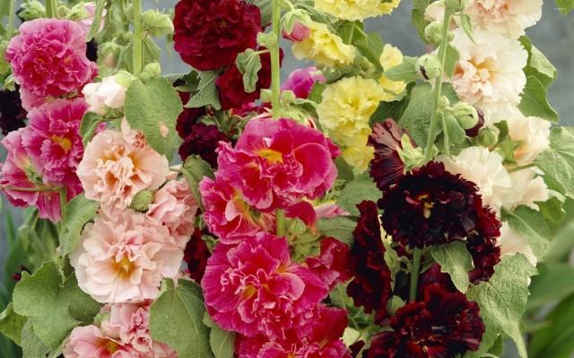 Штокроза розовая (Alcea rosea)