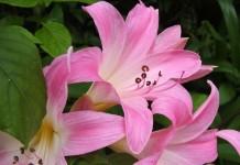Амариллис белладонна, или Амариллис красавица (Amaryllis belladonna)