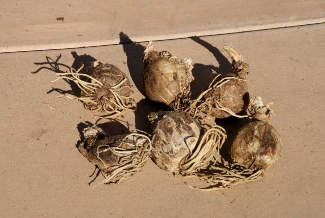 Луковицы амариллиса белладонна