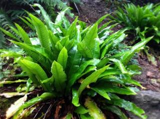 Костенец сколопендровый (Asplenium scolopendrium)