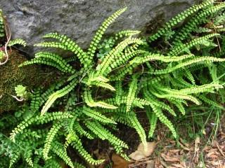 Костенец волосовидный (Asplenium trichomanes)