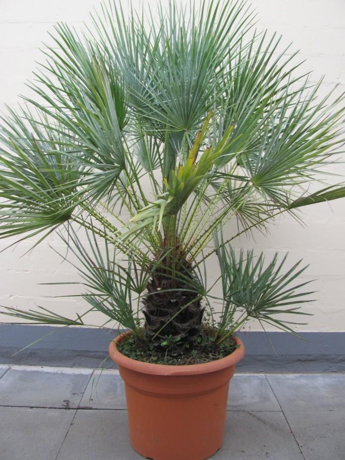 Разновидности пальм в домашних условиях фото 13