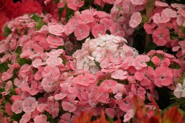 Гвоздика турецкая (Dianthus barbatus)