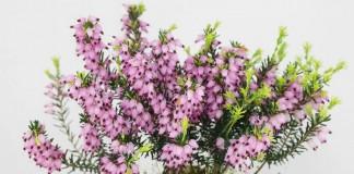 Эрика травянистая (Erica herbacea)