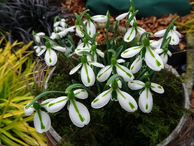 Galanthus-South-Hayes-3
