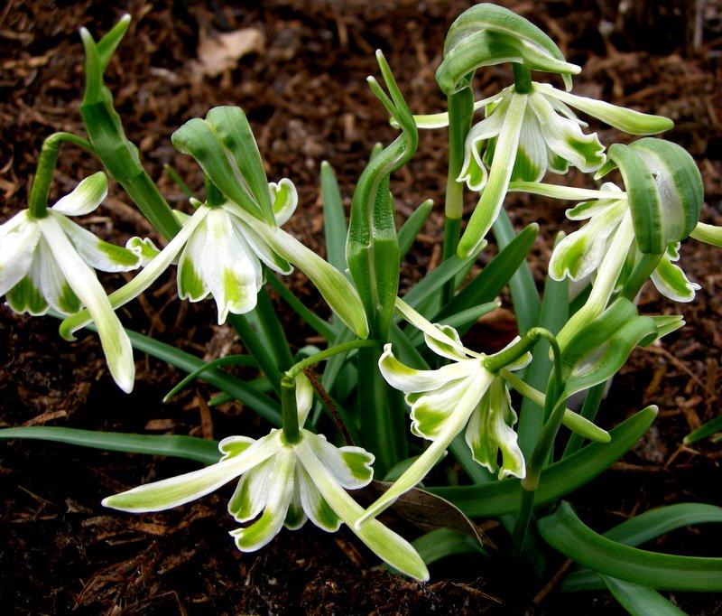 Galanthus-nivalis-Walrus-2