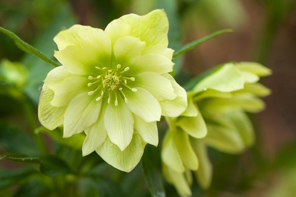 Helleborus-Golden-Lotus-1