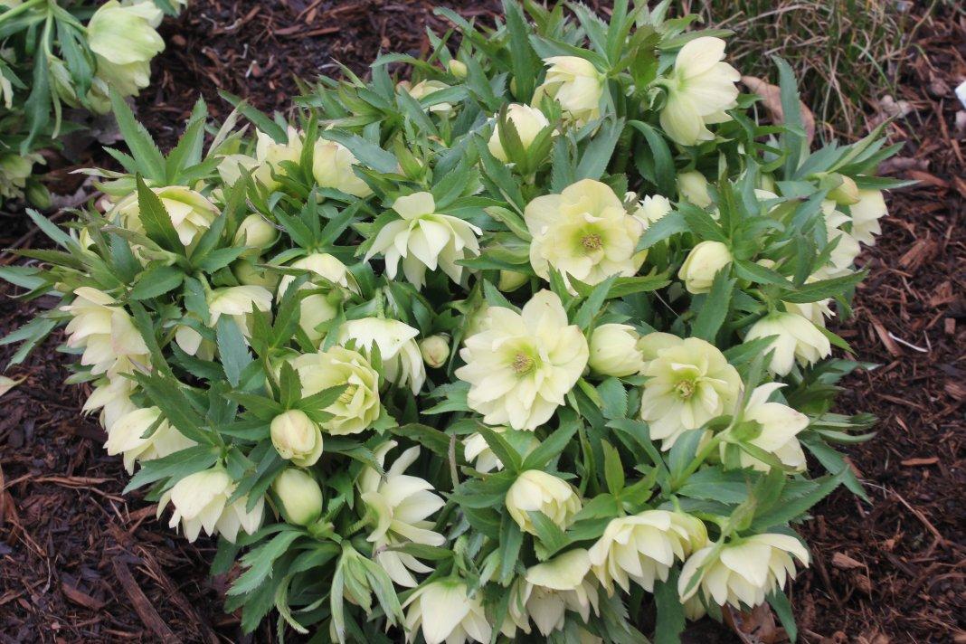 Helleborus-Golden-Lotus-3