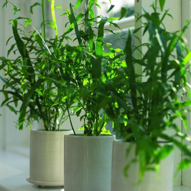 Гомалокладиум плосковеточный (Homalocladium platycladum)