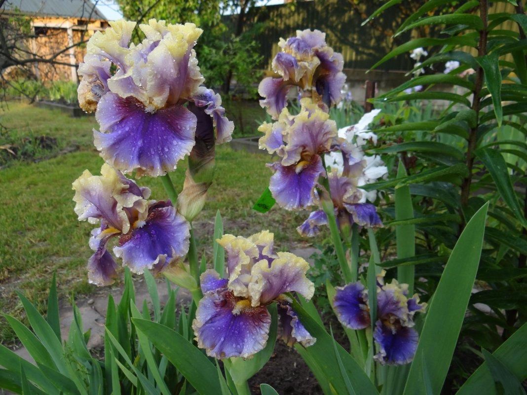 Iris-i-m-all-shook-up-3