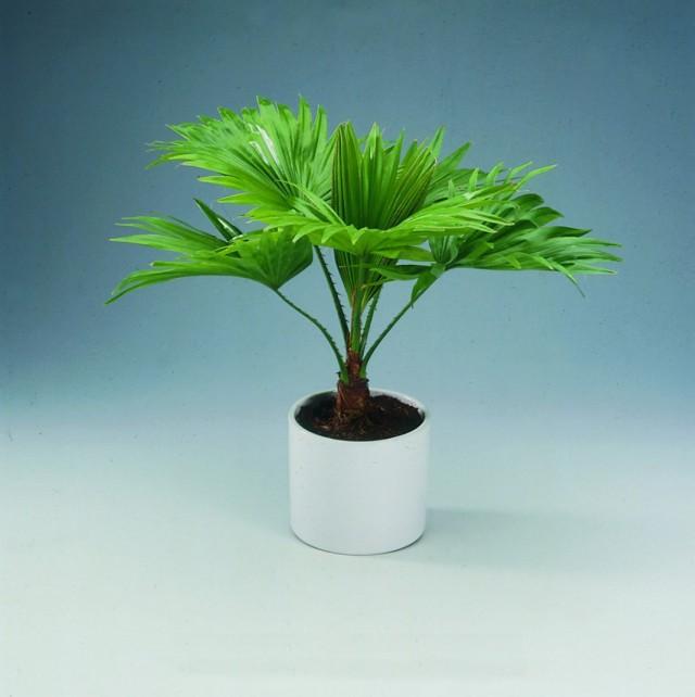 Ливистона круглолистная (Livistona rotundifolia) или Сарибус круглолистный (Saribus rotundifolius)