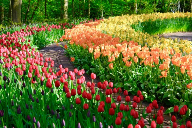 Рабатки из тюльпанов и нарциссов