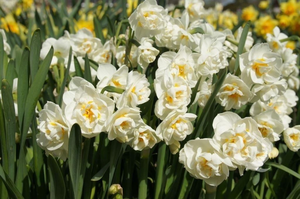 Narcissus-Bridal-Crown-2