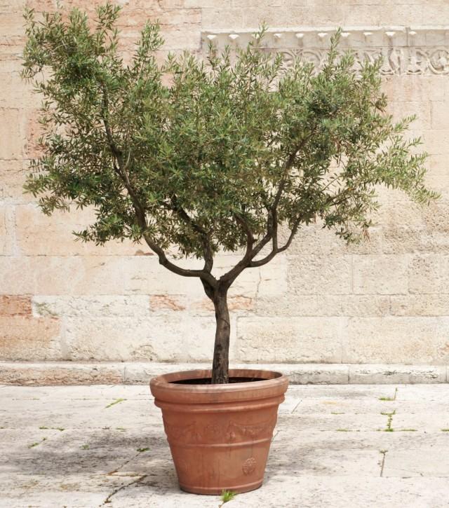 Оливковое дерево (Olea europaea)