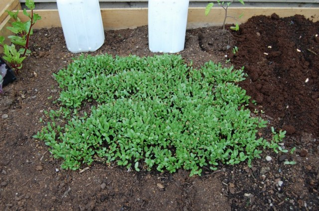 Всходы овощей, посеянных весной в открытый грунт