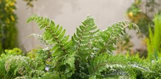 Многорядник многореснитчатый (Polystichum polyblepharum)