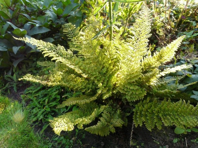 Многорядник щетинконосный (Polystichum setiferum)
