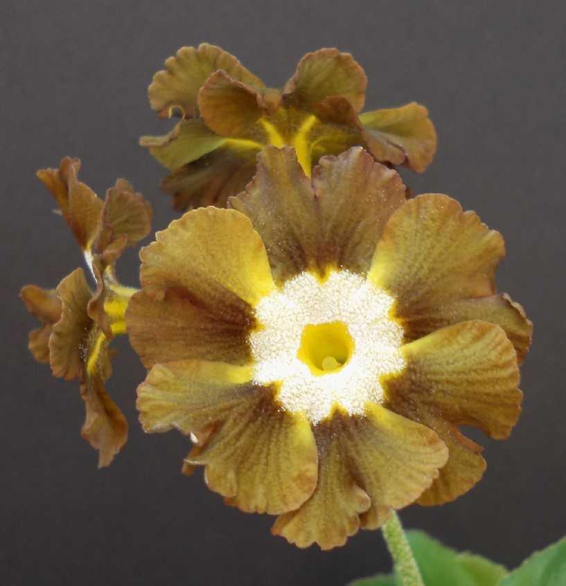 Primula-auricula-Eden-Greenfinch-1