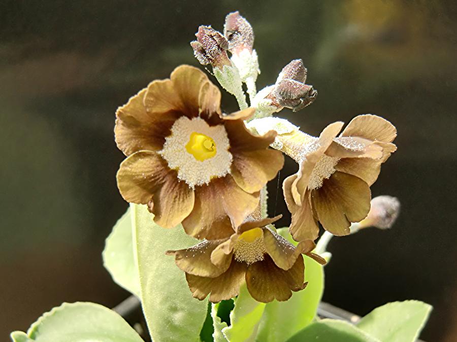Primula-auricula-Eden-Greenfinch-3