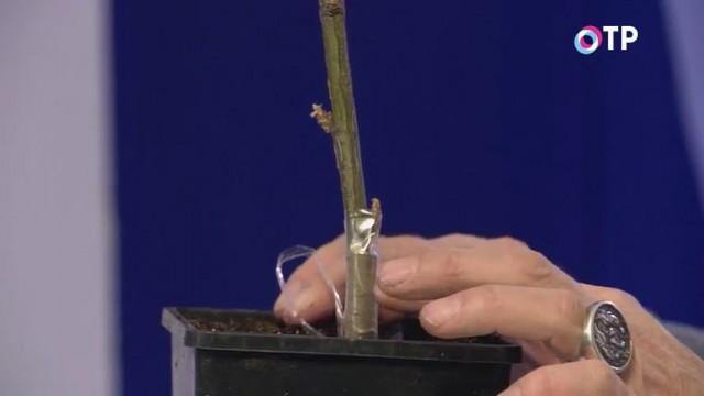 Высаживаем привитый черенок в грунт