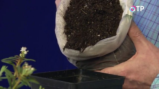 Заполняем контейнер для пересадки рододендрона гренландского почвенной смесью