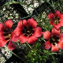 Ромулея однобратственная (Romulea monadelpha)