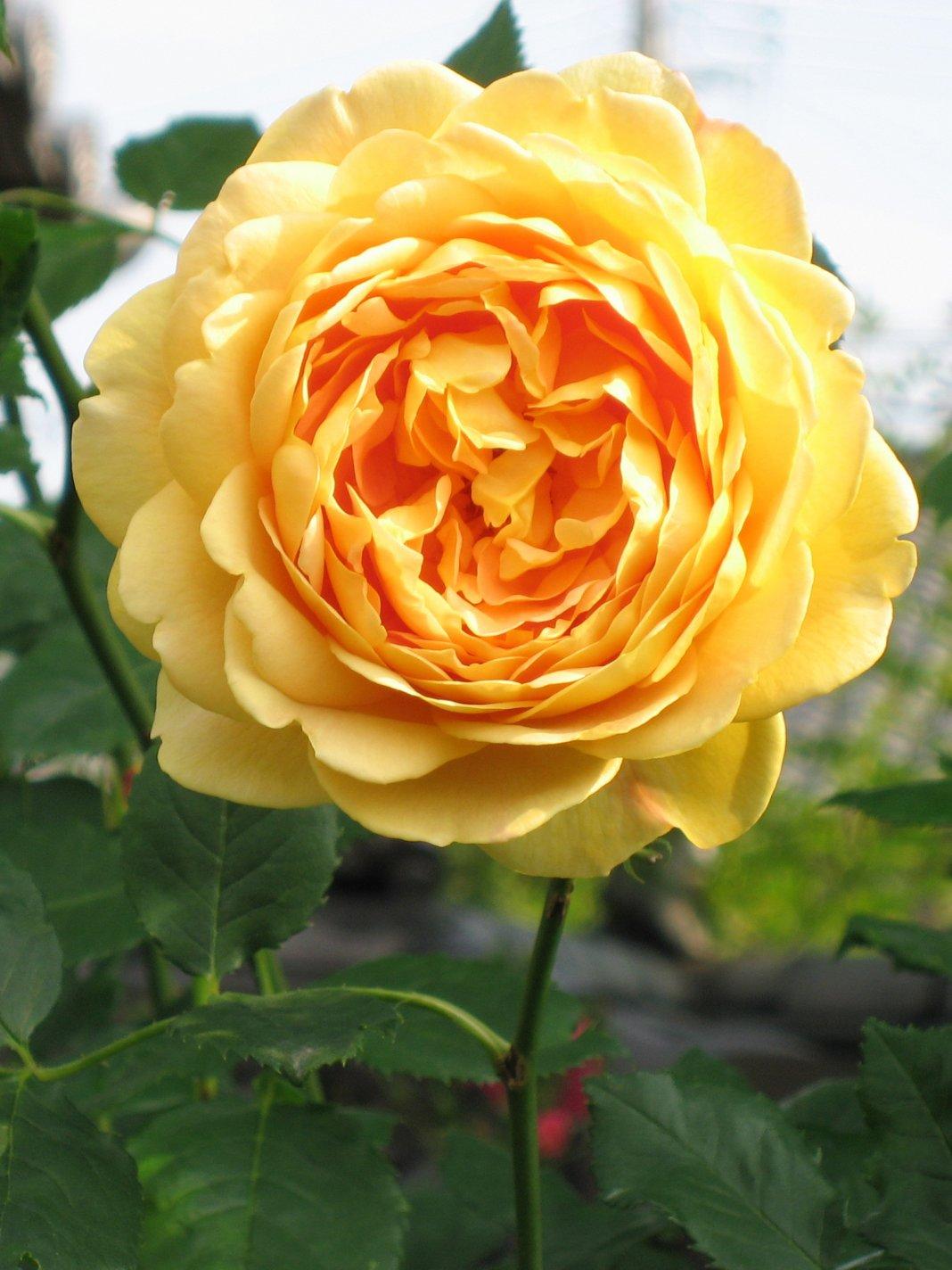 Rosa-Golden-Celebration-1