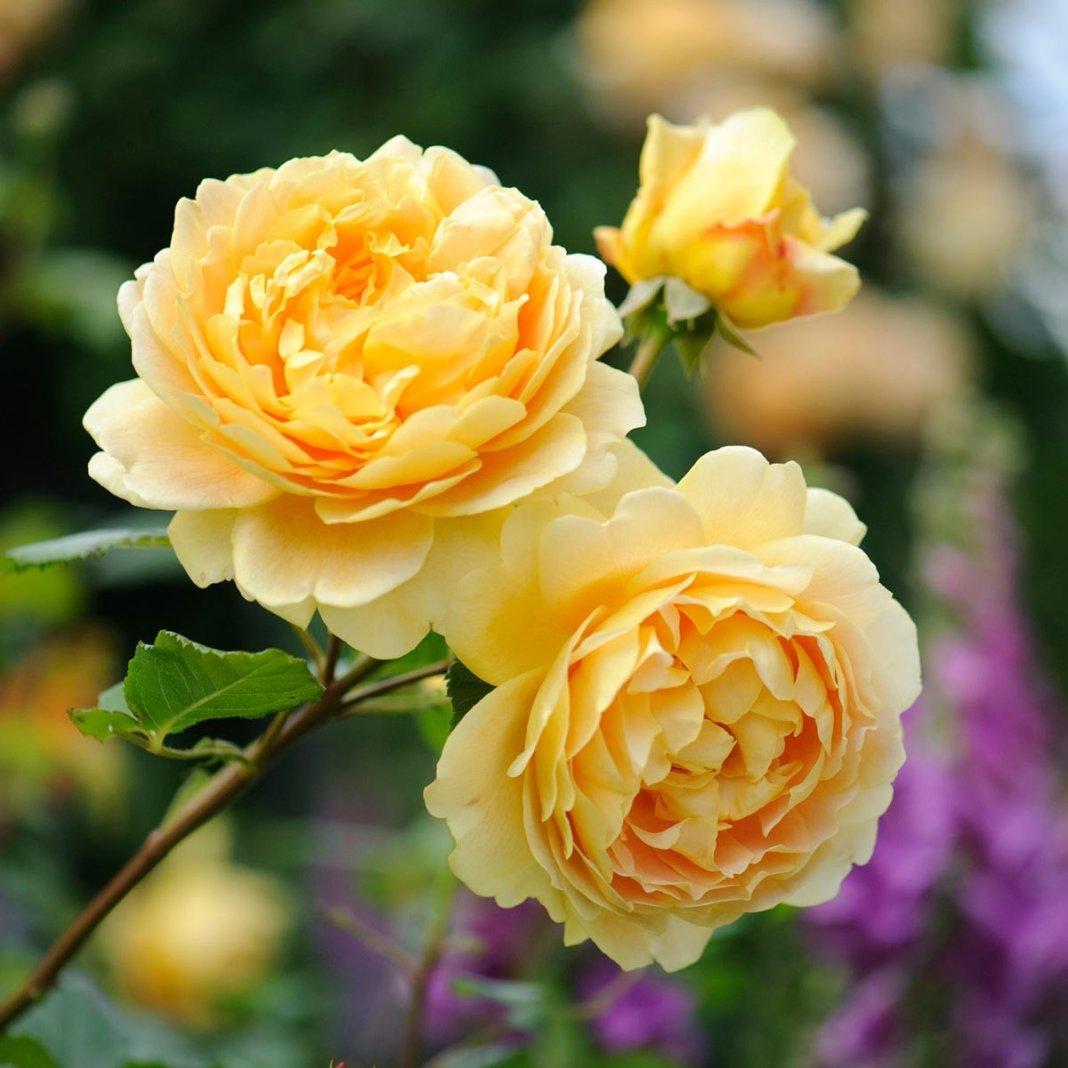 Rosa-Golden-Celebration-2