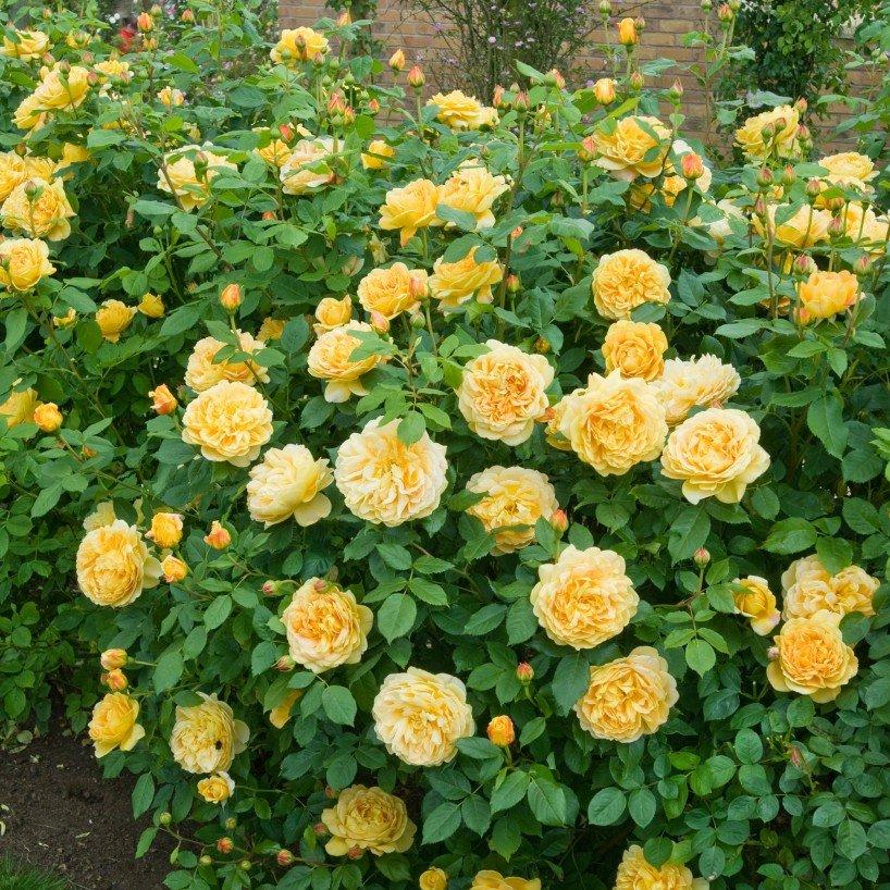 Rosa-Golden-Celebration-3