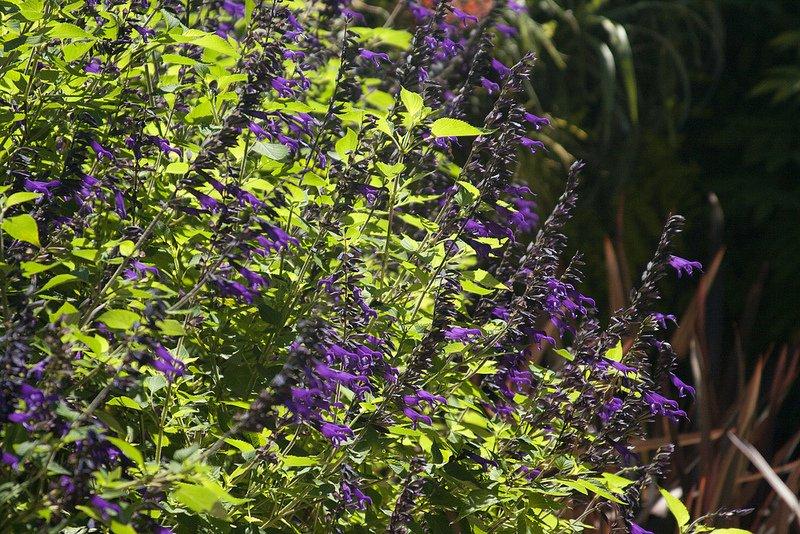 Salvia-Amistad-2