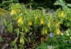 Увулярия крупноцветковая (Uvularia grandiflora) в цветнике