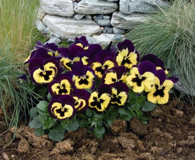 Фиалка Виттрока, или садовые анютины глазки (Viola wittrokiana)