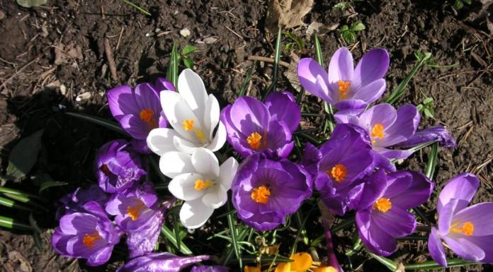 Крокусы в апреле