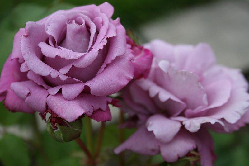 rosa-charles-de-gaulle-2