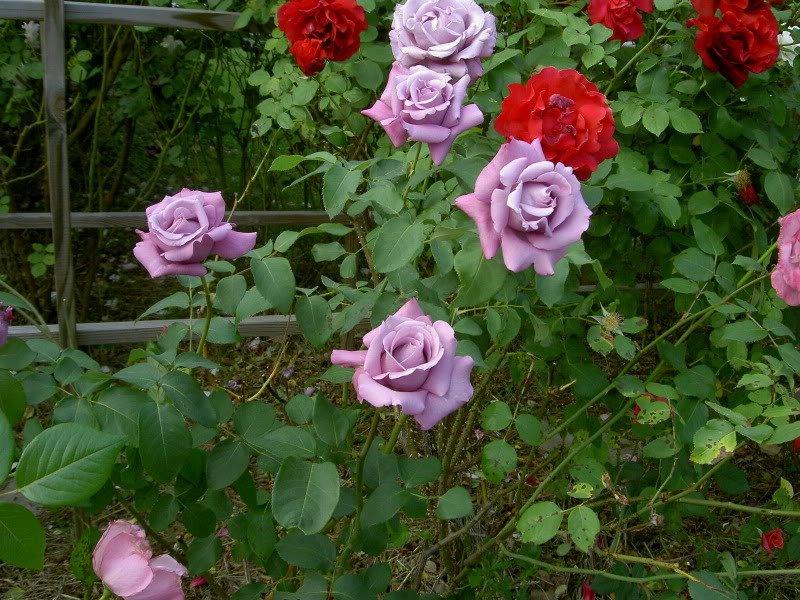 rosa-charles-de-gaulle-3
