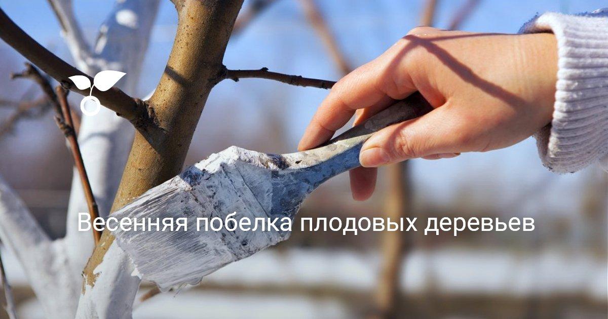 Как правильно производить побелку яблонь весной
